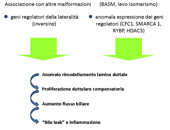 Schema forma embrionale/fetale